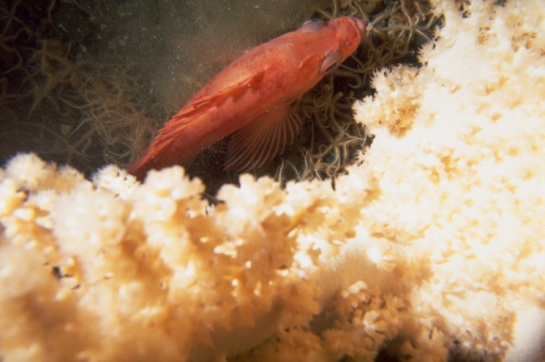 Gorgonian Coral and Redfish like this are found in the Gully.  © Don GORDON / WWF-Canada