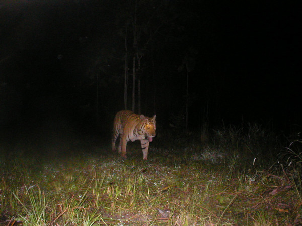 This is the last tiger photographed in Cambodia. It was taken in 2007, by camera trap Mondulkiri Protected Forest. Lack of tiger signs suggests tigers are very rare in Cambodia. © Cambodia WWF/FA