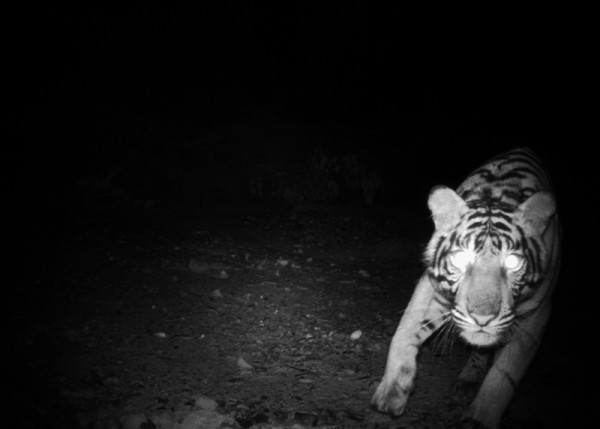 Surveying tigers through the dense jungles of the Sumatra is challenging. NGOs are working to count tigers, but urgently need government support for a national survey. © WWF-Indonesia / Tiger Survey Team