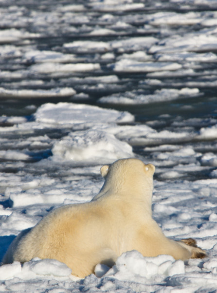 A tagged polar bear watching and waiting for the winter ice to form in November, near Churchill, Manitoba, Canada © Jacquie Labatt / WWF-Canada