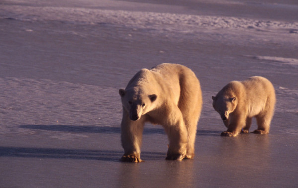Polar bear mother and young. Churchill, Manitoba, Canada. © François Pierrel / WWF