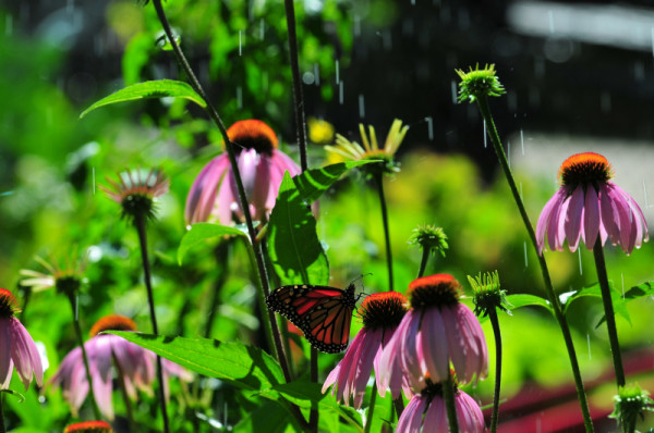 Monarch butterfly on Echinacea flowers, Ontario, Canada