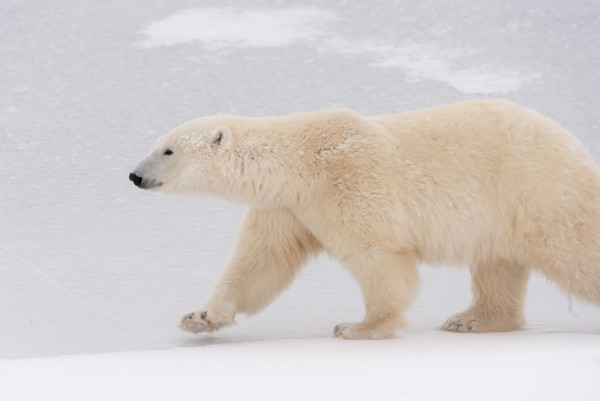 Polar bear (Ursus maritimus) walking on ice, Churchill, Canada. © WWF-US / Elisabeth Kruger/