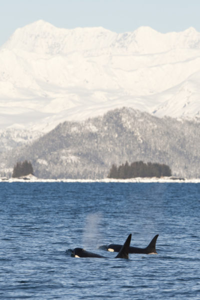 Killer whales (Orcinus orca) surfacing in Prince William Sound, Alaska, United States. © Scott Dickerson / WWF-US