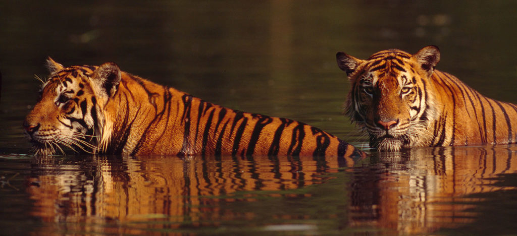Two tigers in water, Thailand
