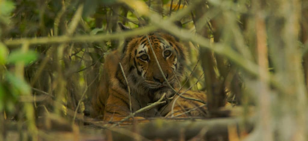 A female Bengal tiger resting in the undergrowth of a mangrove forest in Bangladesh