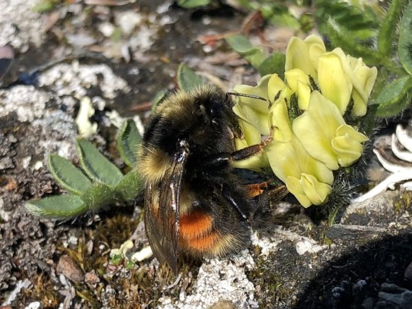 Arctic bumble bee