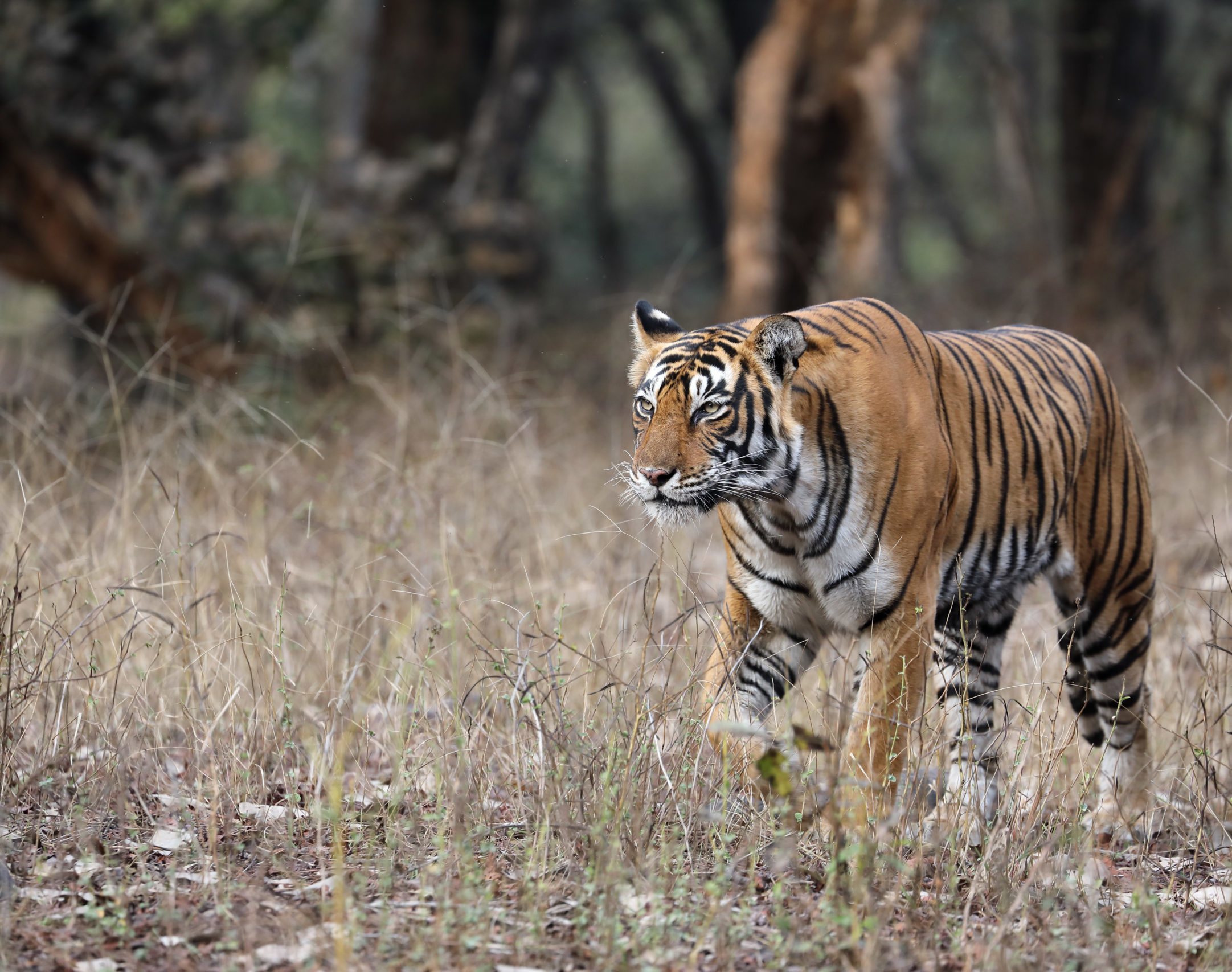 Bengal tiger in Ranthambore, India.