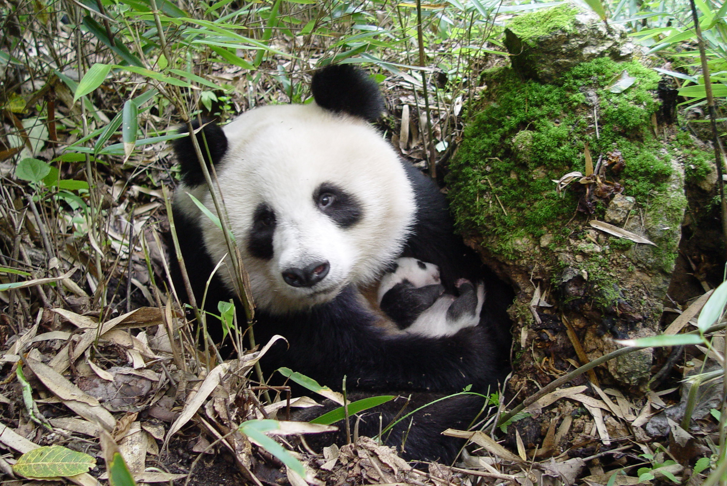 Giant Panda with a young cub in Shaanxi province, China.