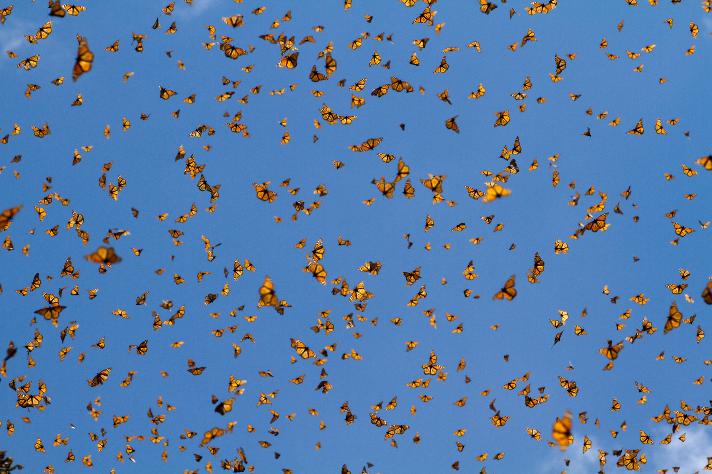 Monarch Butterflies at the Monarch Biosphere Reserve, Mexico