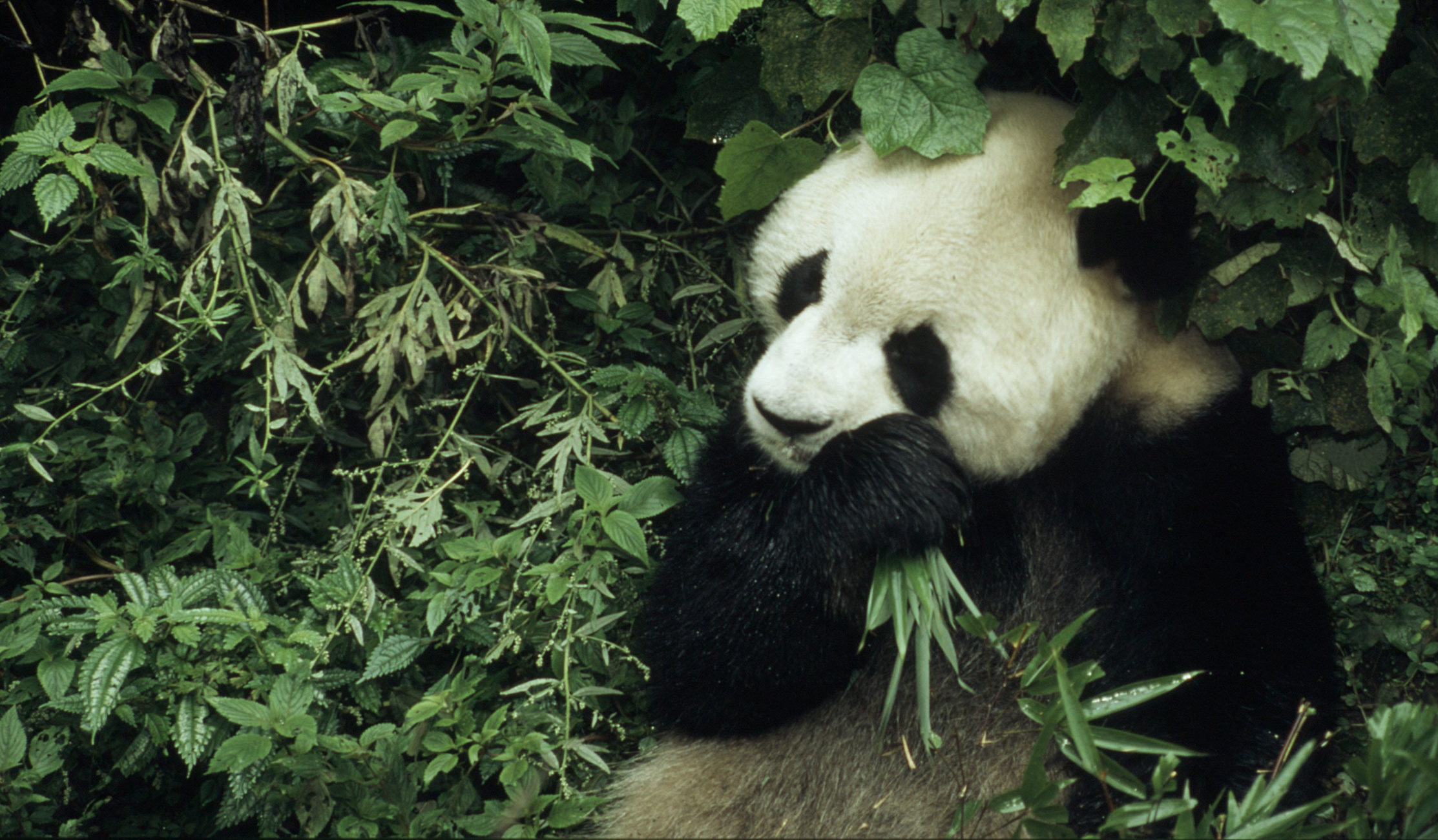 6 year old male giant panda eating bamboo