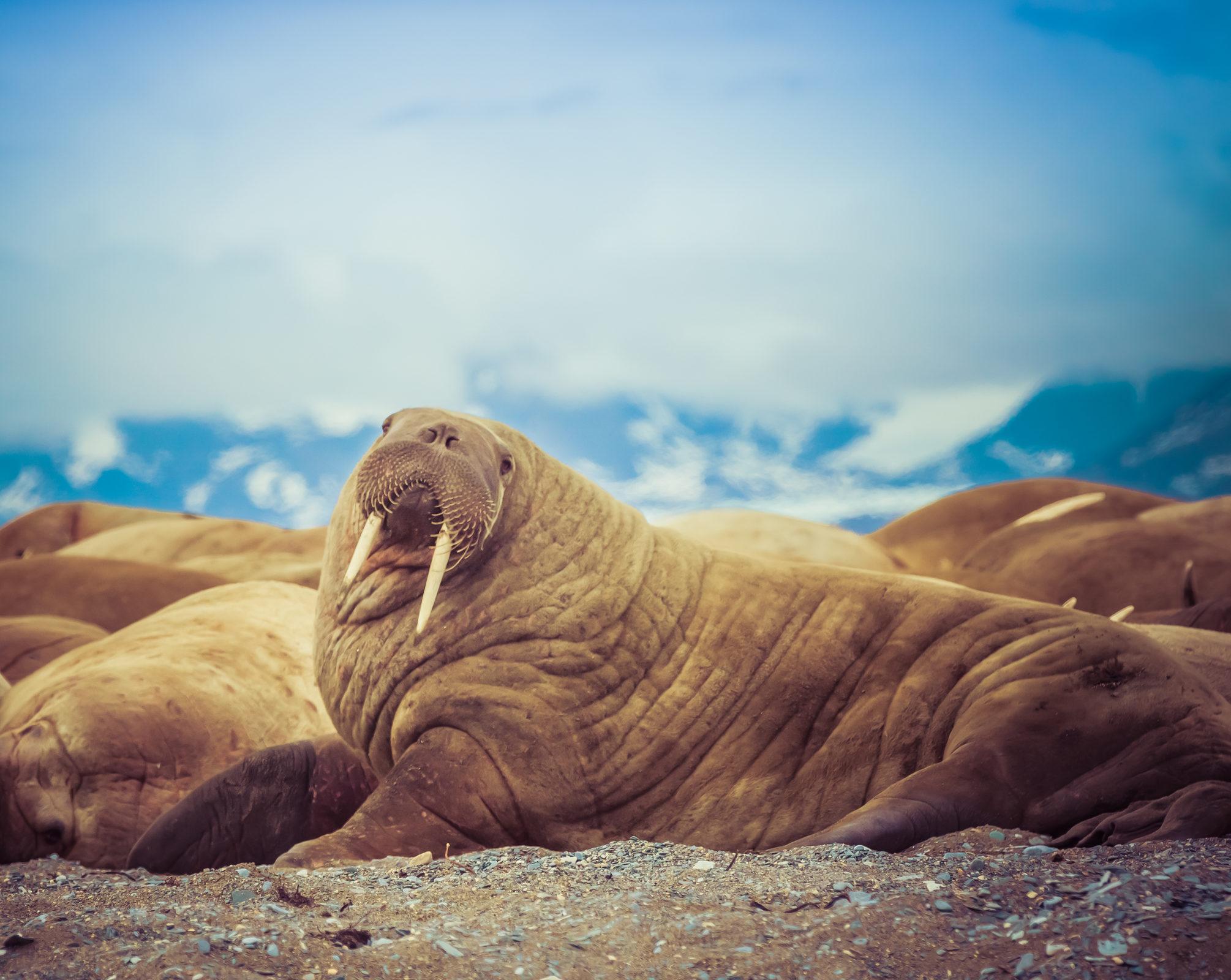 Walrus in Poolepynton point in Svalbard, Norway