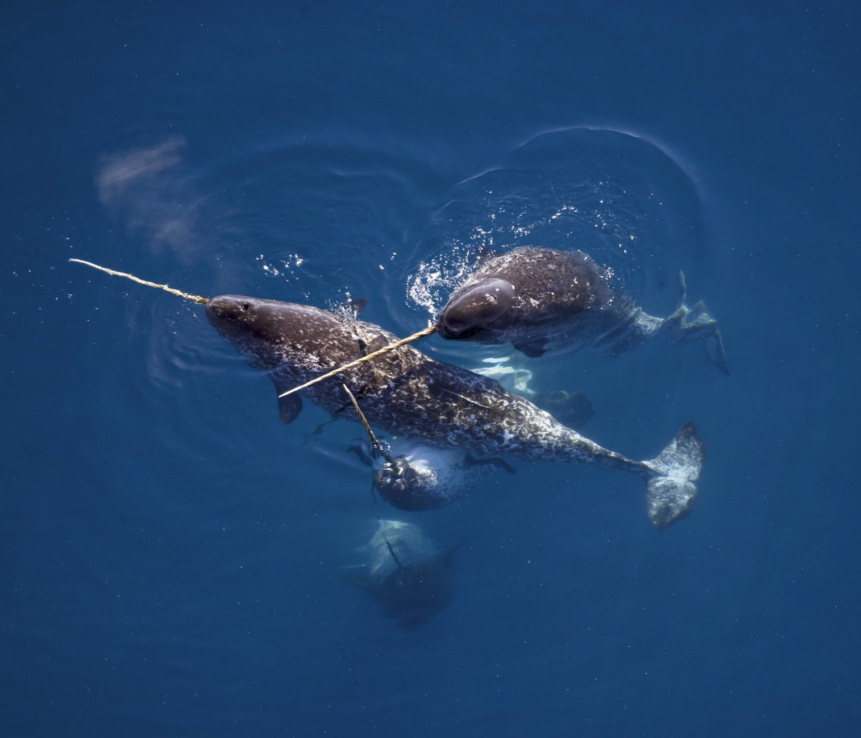 Male narwhals caress one another with their tusks in Nunavut, Canada.
