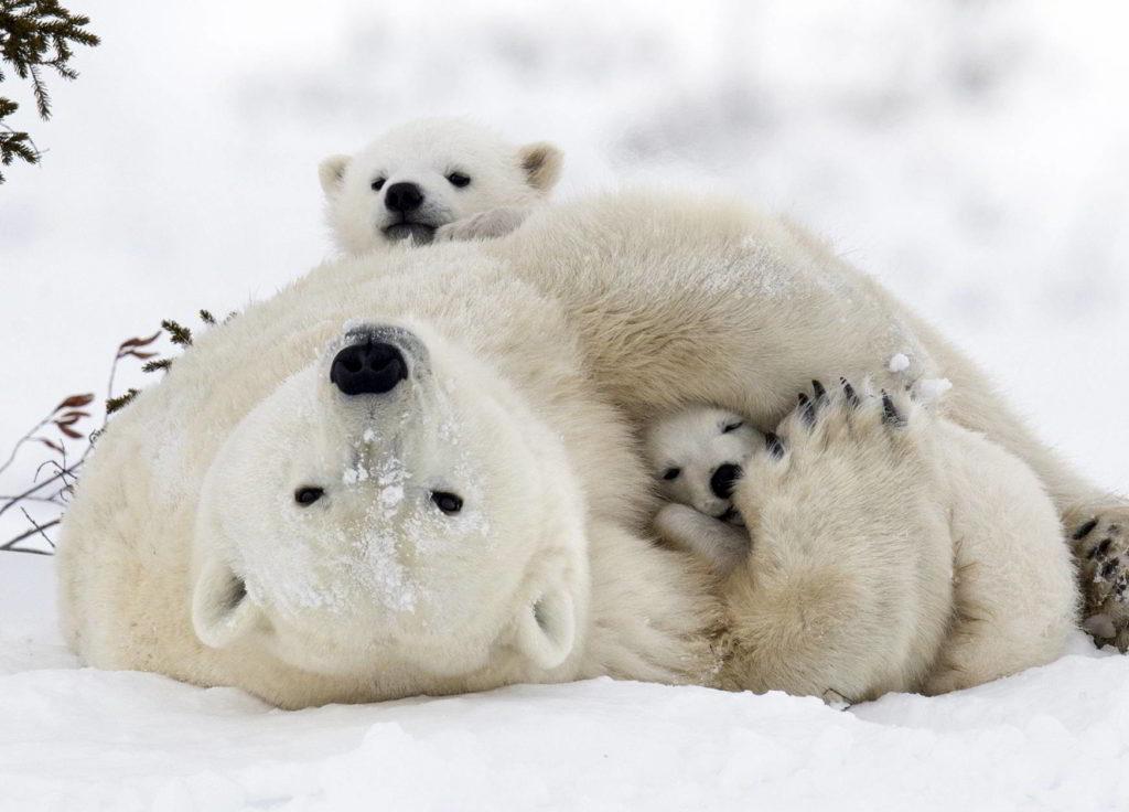 Polar bear with cubs in the Wapusk National Park, Churchill, Manitoba, Canada