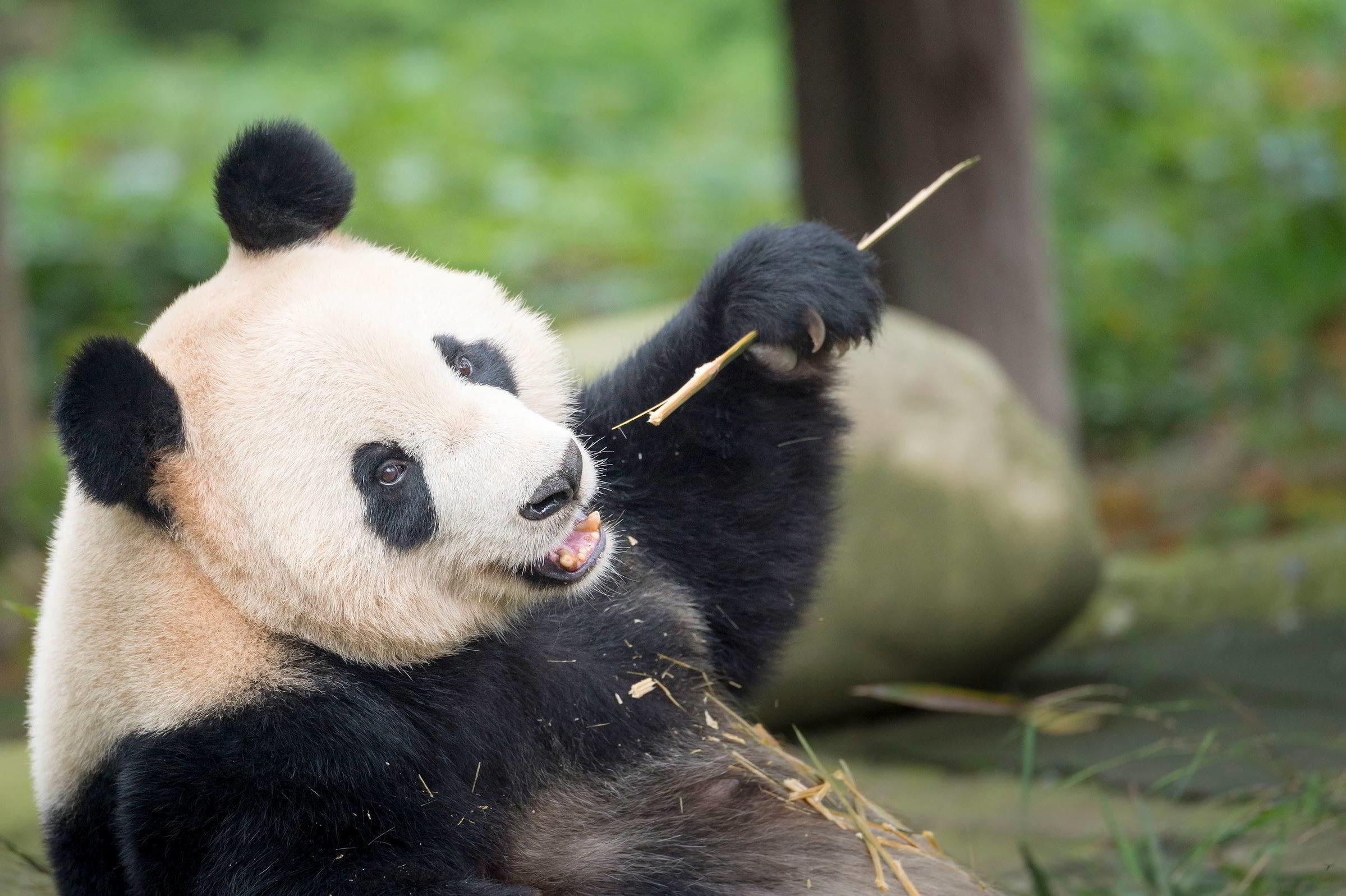 Portrait of a giant panda ( Ailuropoda melanoleuca ). Bifengxia Panda Base, Sichuan. China