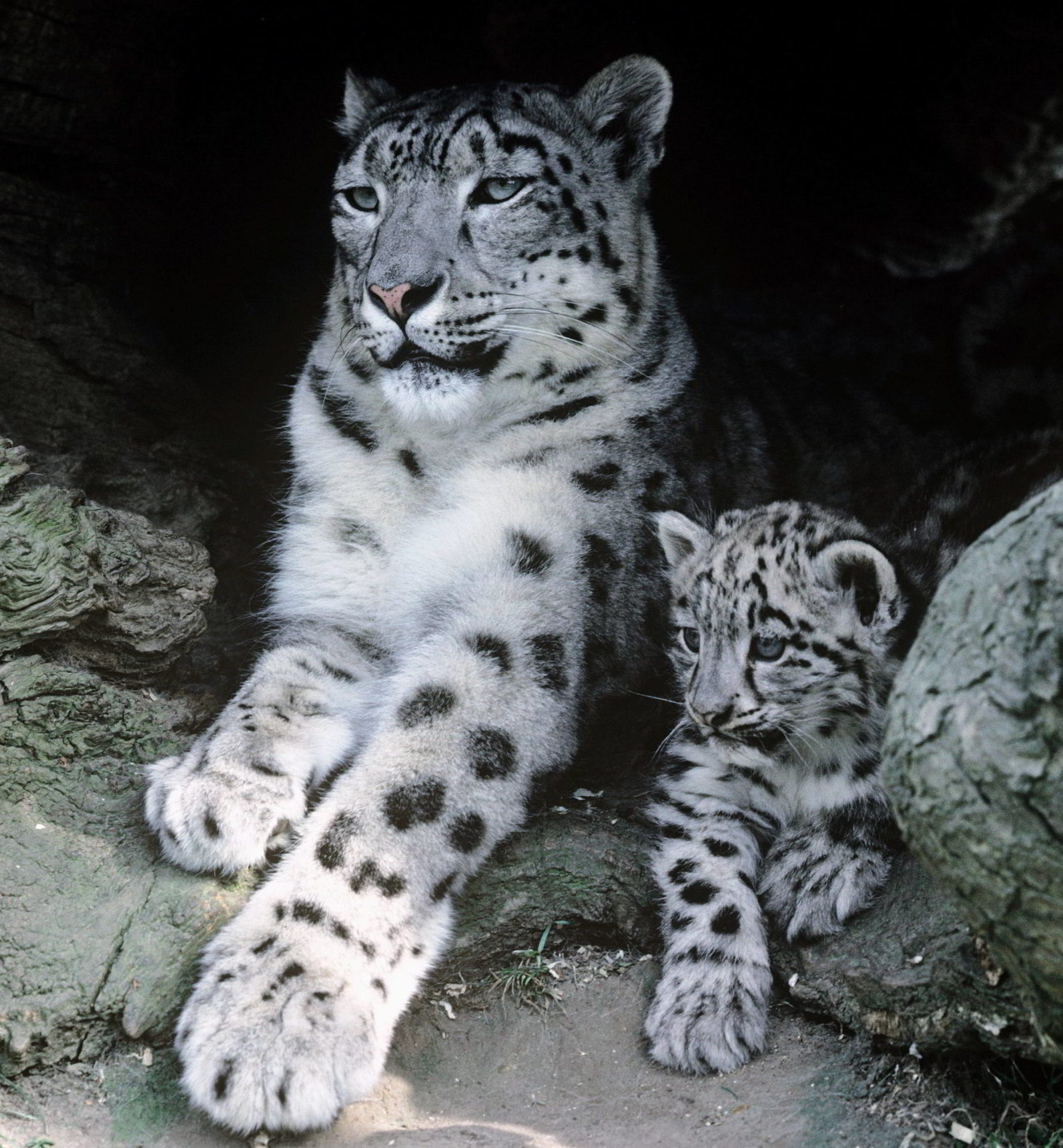 Snow Leopard Female Snow leopard with cub.