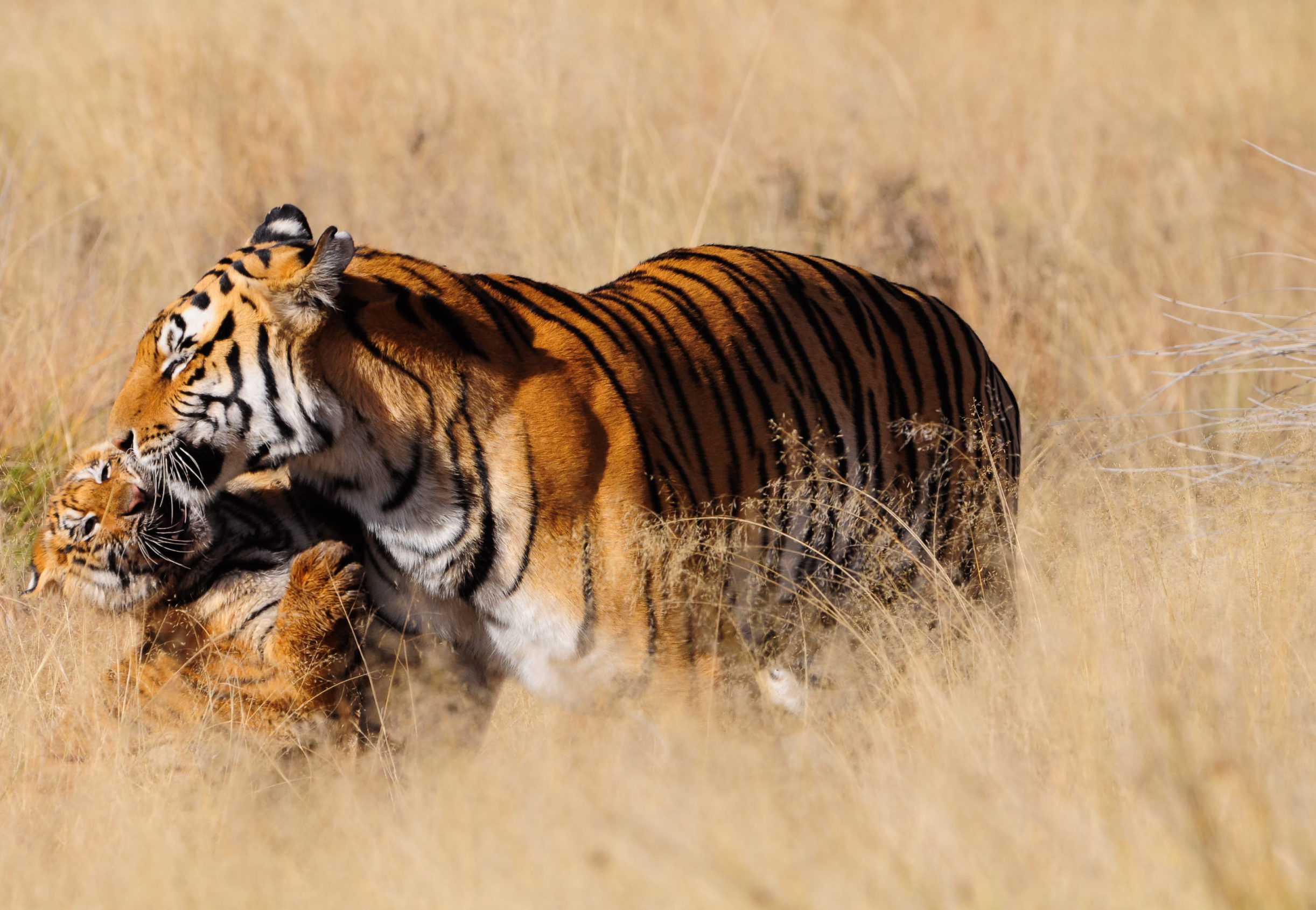 Tiger and cub in long grass