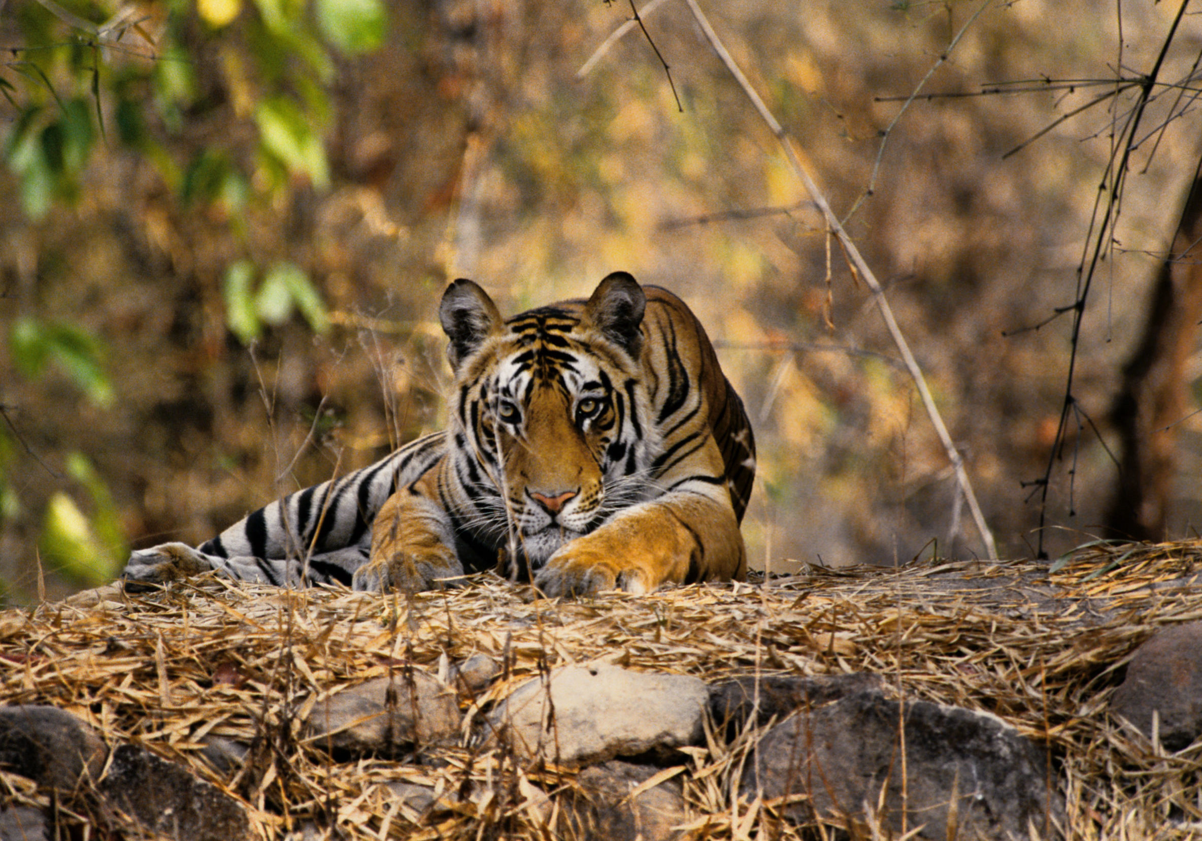 Tiger (Panthera tigris) lying down, India.