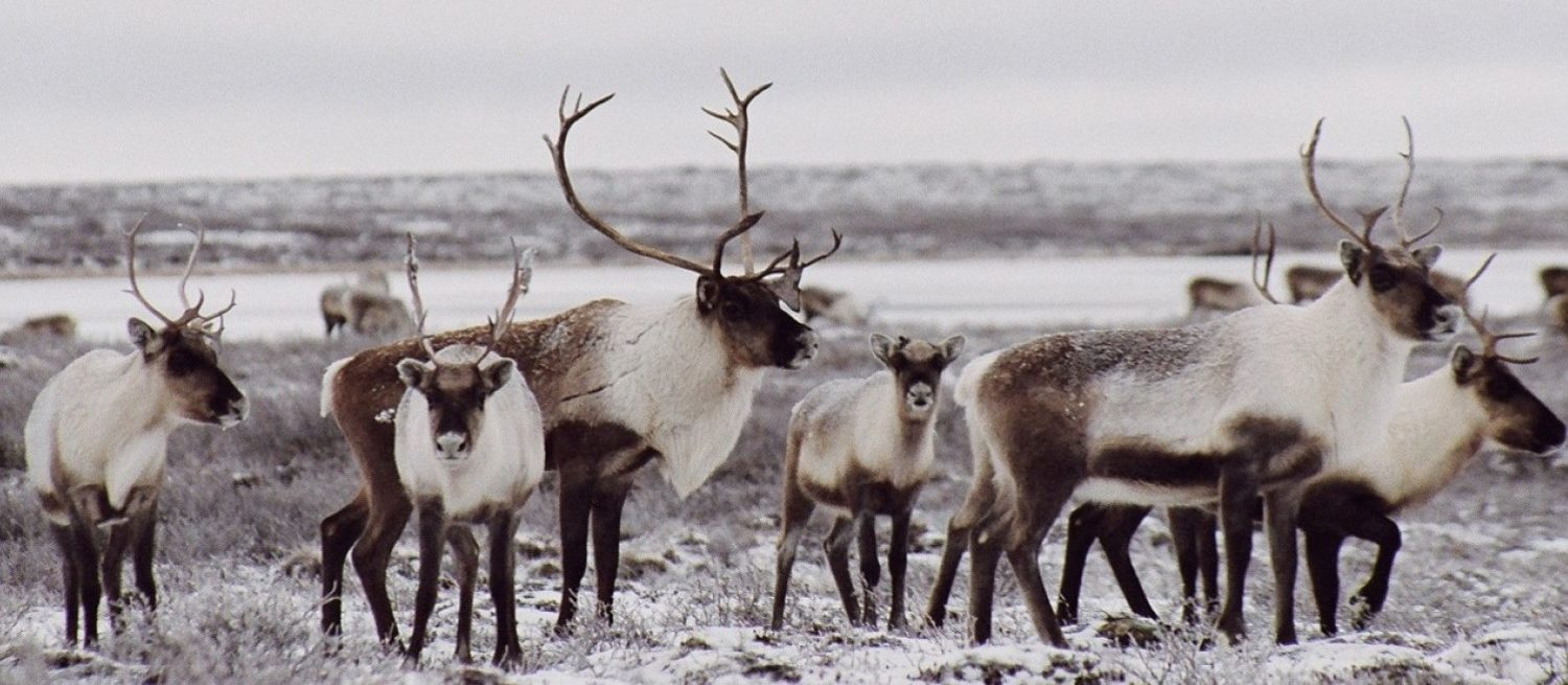 Herd of Caribou in the Yukon