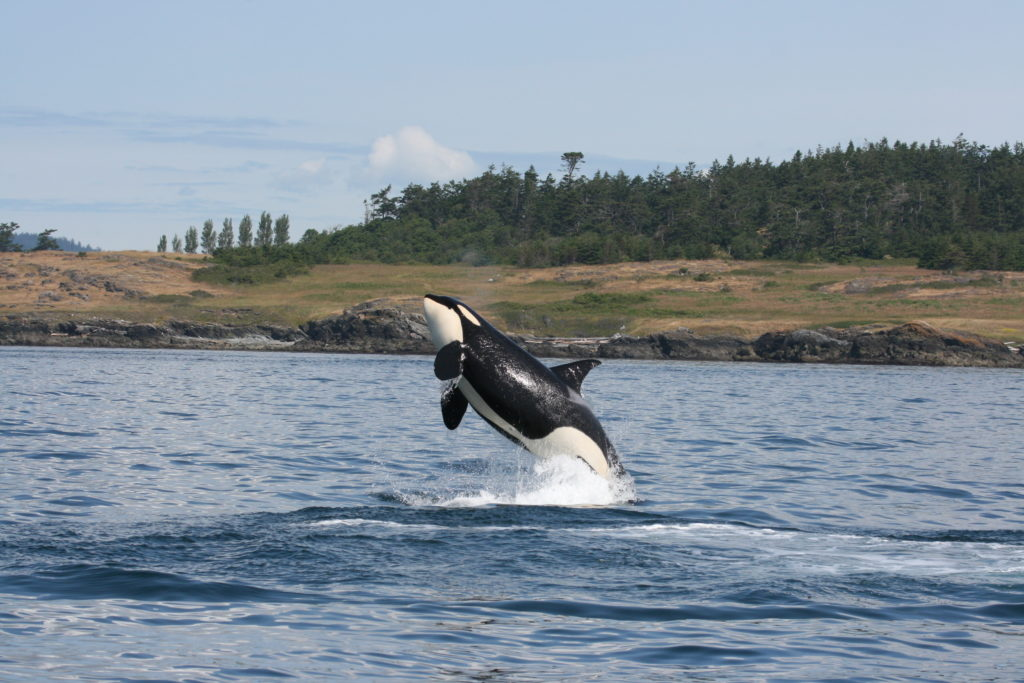 A southern resident Killer whale (Orcinus orca) leaping out of the waters of Haro Strait, British Columbia, Canada