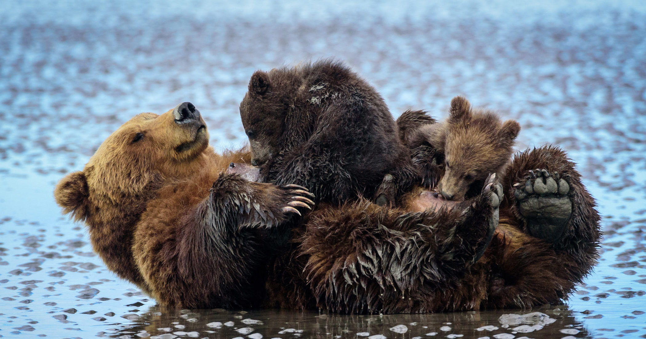 Brown bear (Ursus arctos) and cubs in Cook Inlet, Lake Clark National Park, Alaska, United States.