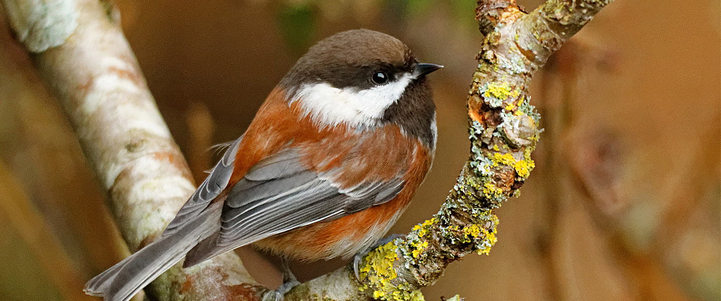 Chestnut Backed Chickadee sits on a branch in Vancouver, British Columbia