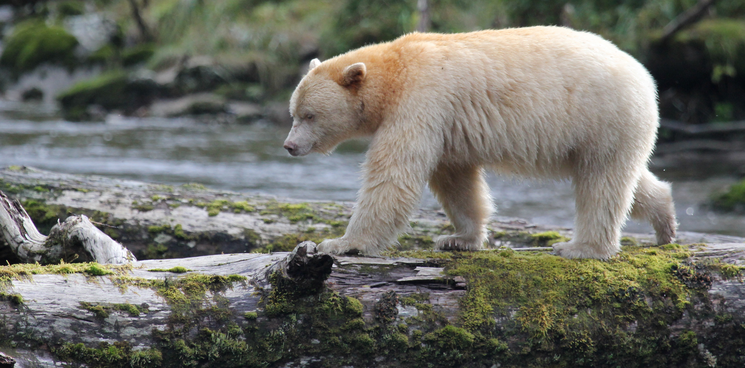 A Kermode bear walking across a river in the Great Bear Rainforest, British Columbia