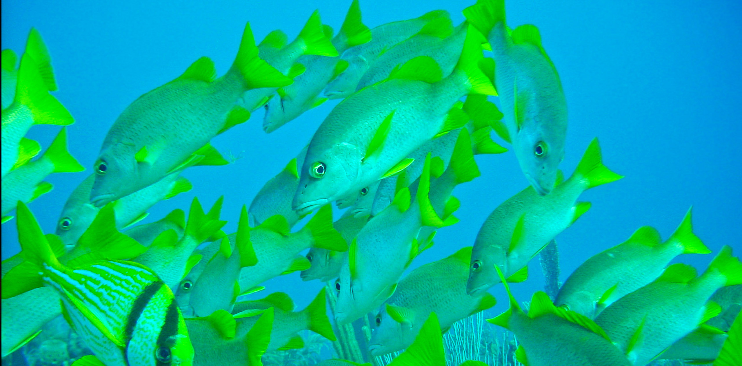 A school of snapers swims in Jardines de la Reina National Park, Cuba.