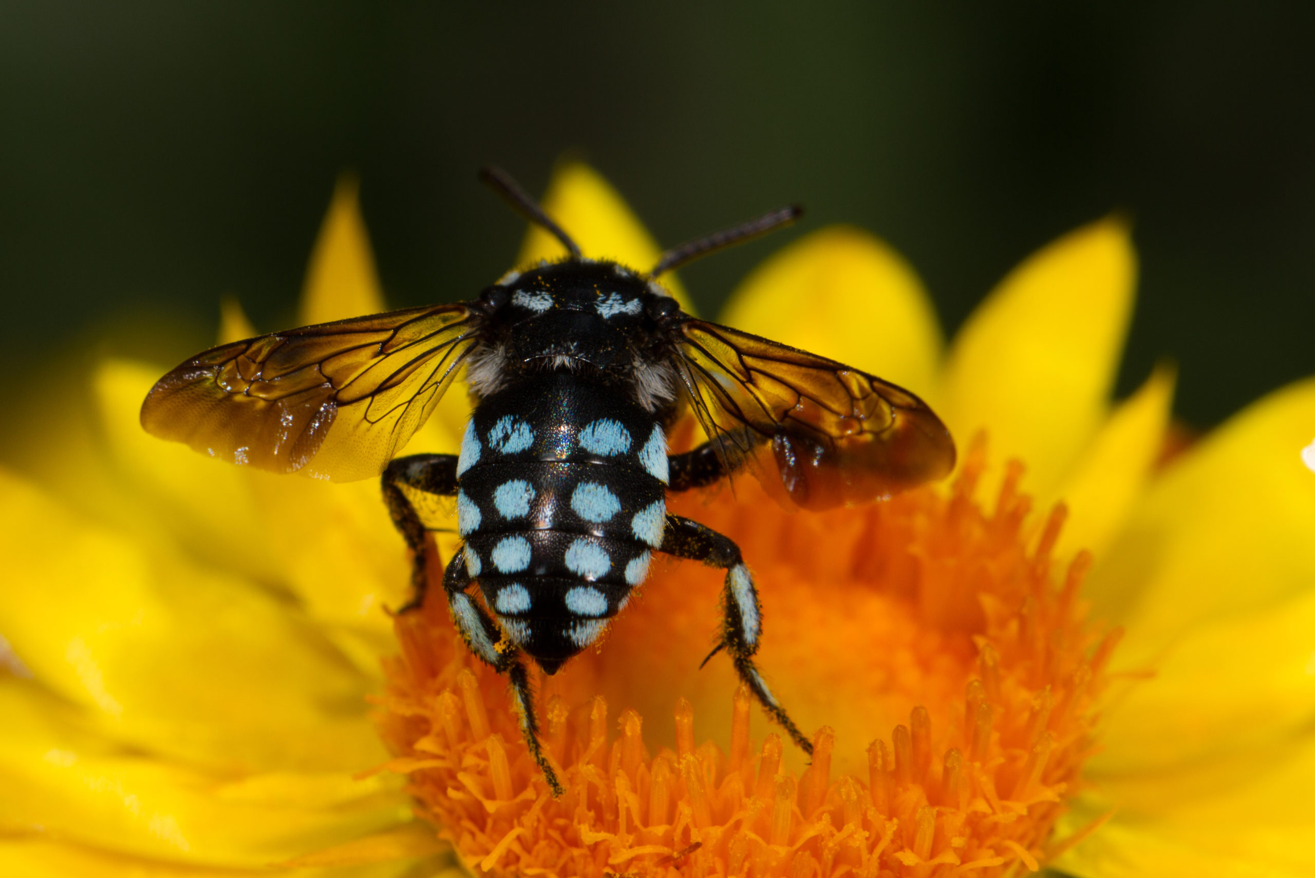 Blue spotted cuckoo bee