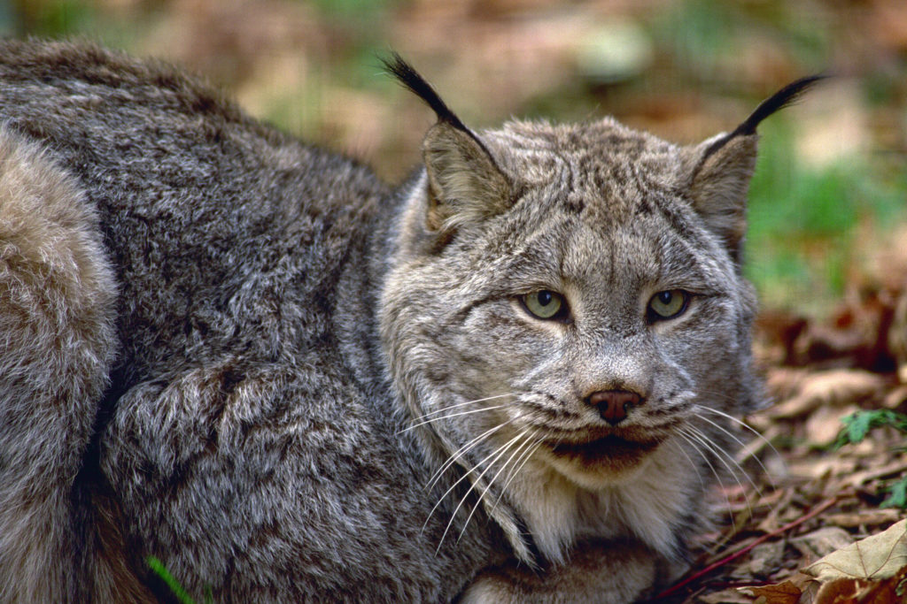 Close up of a Canadian lynx