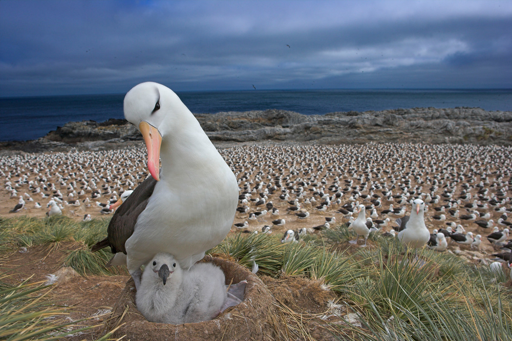 Black-browed albatross with a chick in nest
