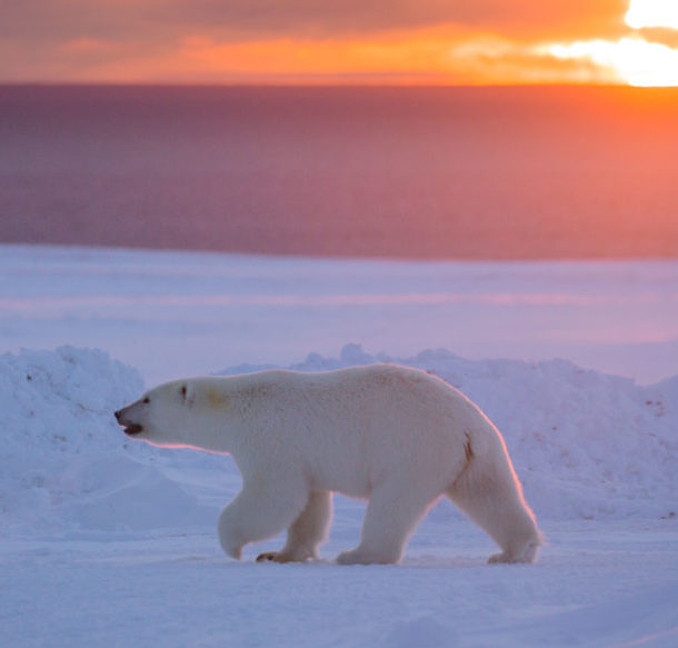 Polar bear walking across the ice at sunset