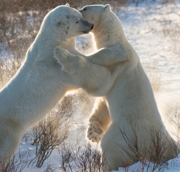 Two male polar bears (Ursus maritimus) sparring, Churchill, Canada
