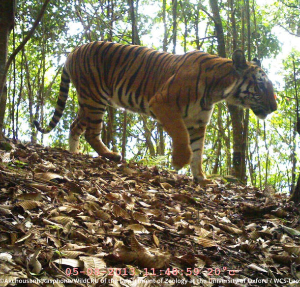 A tiger in Nam Et – Phou Louey National Park, Lao PDR in 2013.