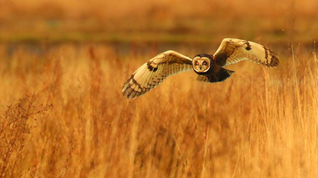 Short Eared Owl/Asio flammeus