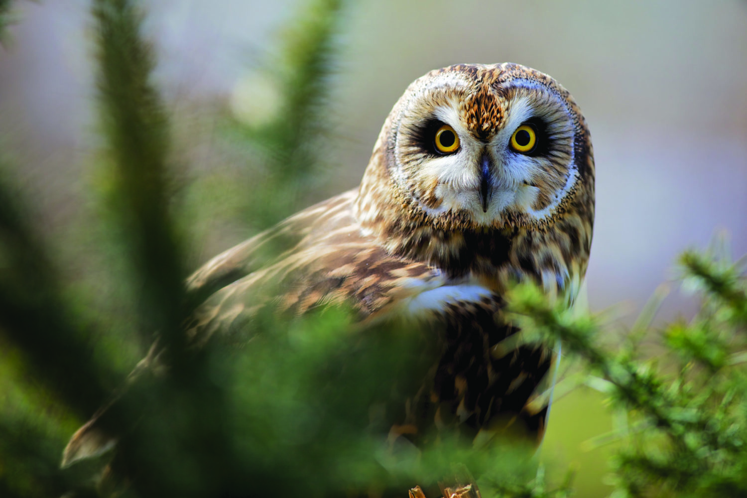 Short-eared owl perches behind pine tree branches.